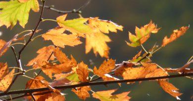 Naturschutz im Wald – Tipp: Seltene Baumarten suchen und finden: Die Elsbeere