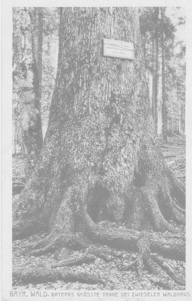 Postkarte, Bayerns grösste Tanne, Deutschland, vor 1950