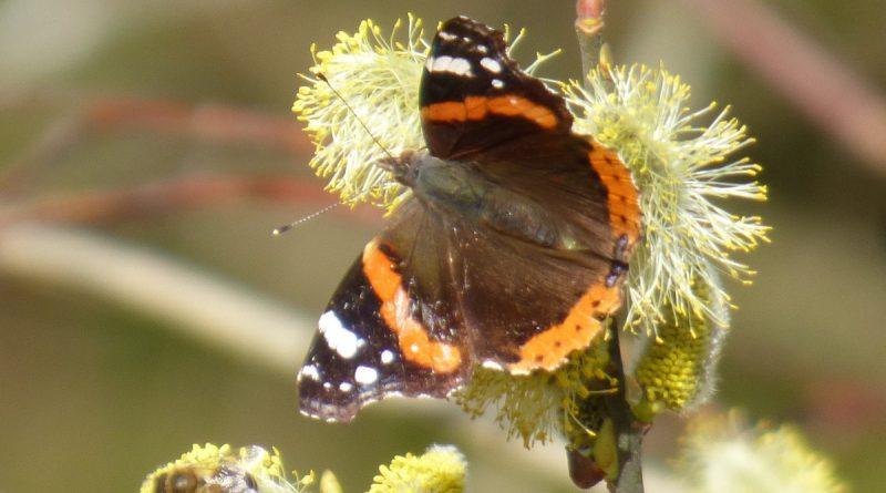 Es blüht ja nichts, wenn Schmetterlinge und Bienen erwachen